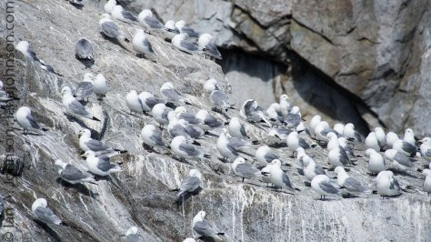 Black-legged Kittiwakes nest in large colonies in the Chiswell Islands.