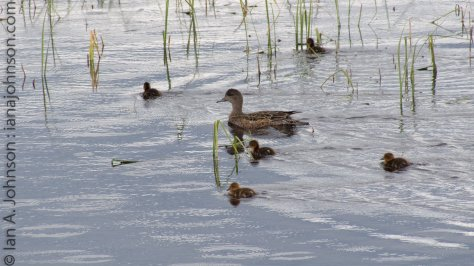 An American Widgeon female paddles along with her small children
