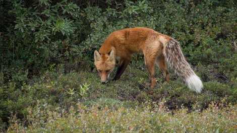 Red Fox Dalton Highway