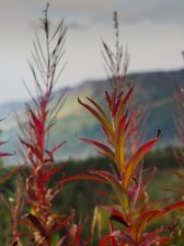 (C) Chuck Johnson. Fireweed along the Denali Highway