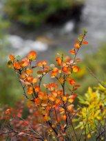 (C) Chuck Johnson. This capture of a transitiioning dwarf birch is stunning!