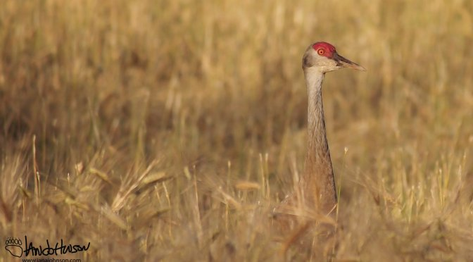 The Sandhill Cranes of Fairbanks, Alaska