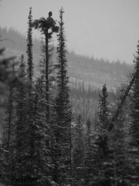 This northern hawk owl was a real treat as we headed south. They are boreal forest feeders which migrate south in the winters. They are known for hunting during the day by perching on the tops of spruces looking for rodents. This black-and-white photo captures the snowy landscape of a hunting hawk owl.