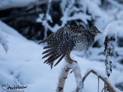 A BIIIIIGGGG stretch in the morning for this sharp-tailed grouse.