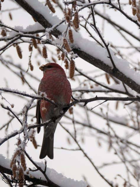 A pine grosbeak male shows off his beauty in the birches.