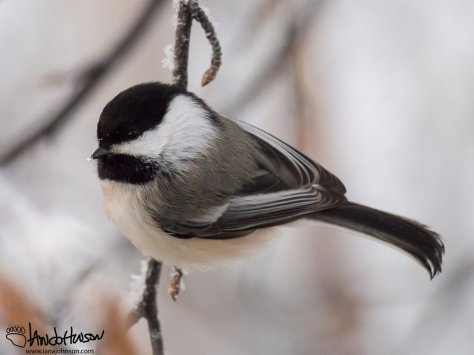 One of the best-known feeder birds there is rarely less than 12 chickadees cracking seeds in the birches around the feeder. They are a constant source of entertainment.
