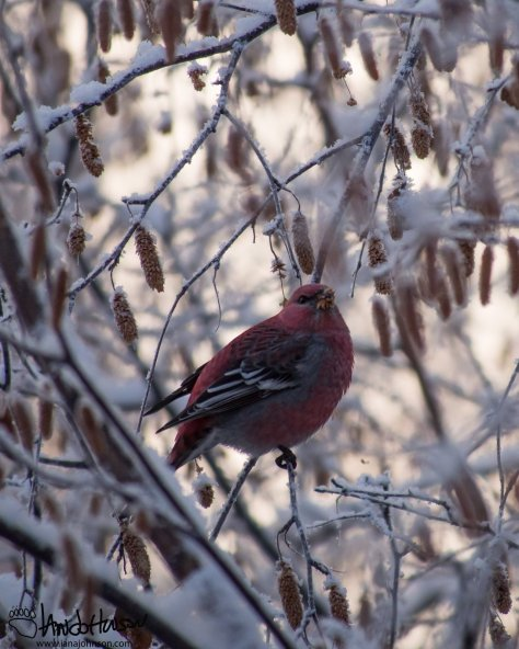 A pine grosbeak perches amongst it dinner - Alaska Birch catkins.