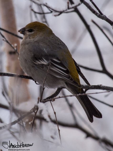 The rusty-orange of the female pine grosbeak makes them very easy to discern from the males. A very beautiful bird!