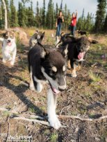 July 28th : Happy sled dog puppies at Black Spruce Dog Sledding
