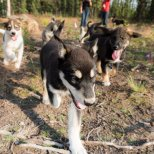 July 28th : Happy sled dog puppies at Black Spruce Dog Sledding