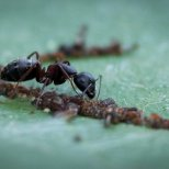 August 3rd : Ant tending aphids