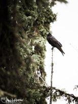 August 18th : Raven sentinel