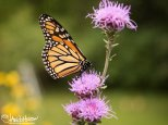 September 5th : Monarch Butterfly on Meadow Blazing Star