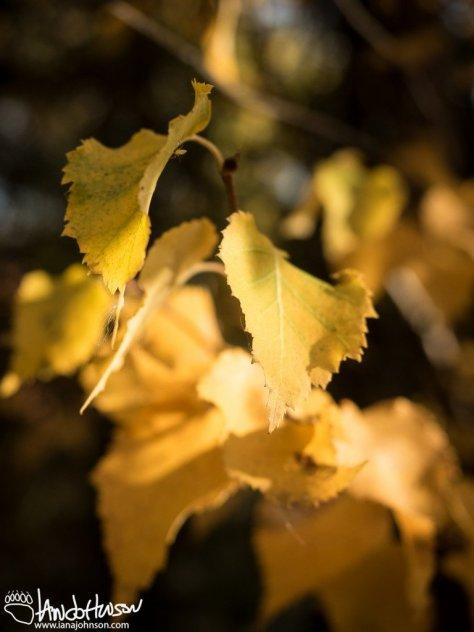 September 9th : Golden Birches