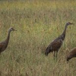 September 16th : Soggy Sandhill Cranes