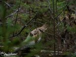 September 20th : Ruffed-grouse