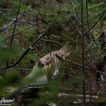 September 20th : Ruffed-grouse