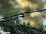 October 18th : A Black-capped Chickadee keeping an eye out