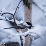 November 25th : Black-capped Chickadee