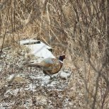 December 15th : First ever rooster pheasant sighting in the yard!