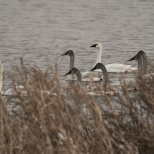 December 26th : Big family of swans