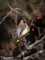 January 6th : A Cedar Waxwing hangs in the crab apple trees along the road, dining at 15 below