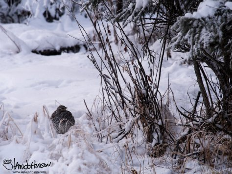 11:43 AM : A sharp tailed grouse sits under the spruces.