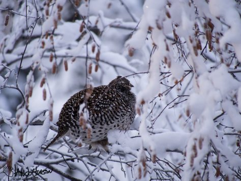 12:06 PM : Sharp-tailed grouse moved to the birches to pick at the catkins