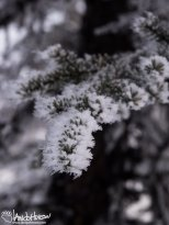January 19th : Hoar frost covers a black spruce bow in the hills above Fairbanks, Alaska.