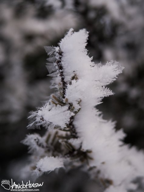 Hoar Frost builds up up on a black spruce limb. Look at the size of those crystals!
