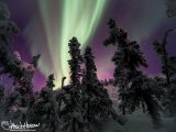 The aurora is just starting 'heat up' in this great image looking through the black spruces.
