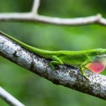 March 19th : Green Anole Lizard