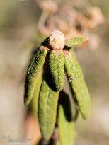 April 28th : Labrador tea