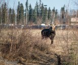 April 29th : Yearling moose