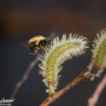 May 1st : Bumble bee on a willow