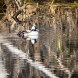 May 4th : Bufflehead