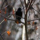May 9th : Rusty Blackbird