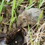 May 13th : Meadow Vole