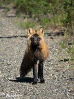 June 1st : Cross fox in Fort Yukon, Alaska