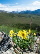 June 8th : Alpine arnica