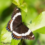 June 28th : Steese Highway Butterfly