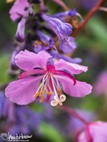 July 1st : Stamen of the fireweed