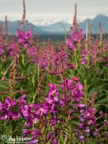 July 5th : Fireweed in front of the mountains along the Denali Highway