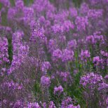 July 20th : A carpet of fireweed at Creamer's Field, Fairbanks, Alaska