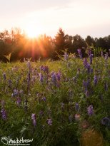 July 24th : A low sunset illuminates a field of invasive bird vetch