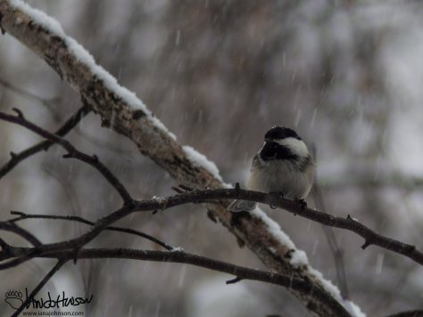 A Black-capped Chicadee hunkers down in the snow