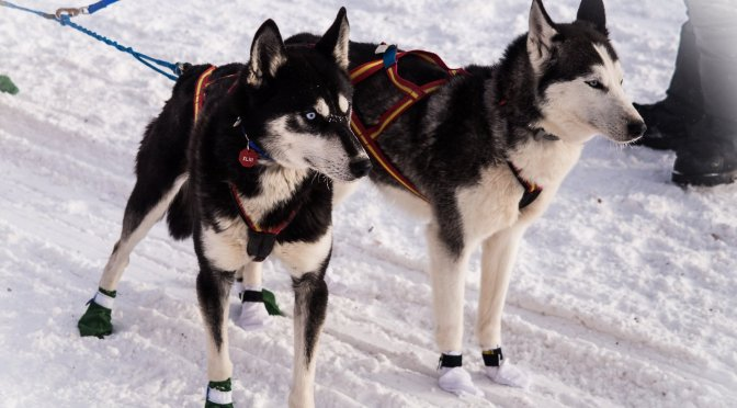 Unique Observations of an Iditarod Observer