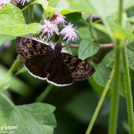 Duskywing Butterfly (unknown species)