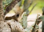 Cactus Wren with a mouthful of nesting material
