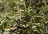 Lousiana Waterthrush